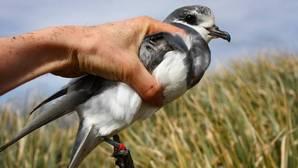 Las aves marinas consumen plástico porque huele y parece comida