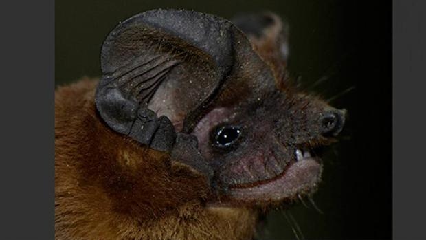 Murciélago brasileño sin cola