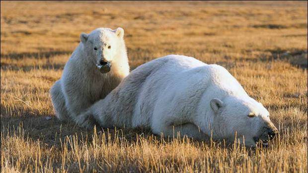 El oso polar, junto a su madre, durante uno de los momentos previos a la retirada del bote por parte de los guardas de la isla de Wrangel
