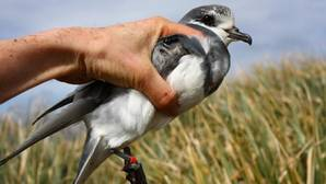 Los excrementos de las aves marinas contribuyen a enfríar el Ártico durante los meses más cálidos