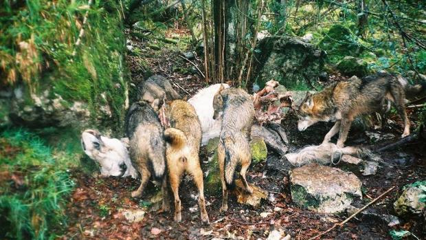 Se está trabajando en censos de lobos a través de aullidos