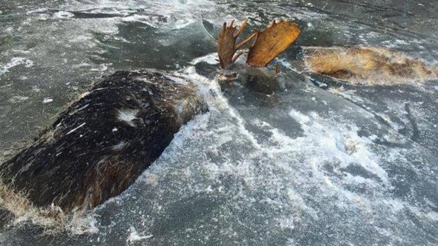 Imagen de los alces encontrados en Unalakleet (Alaska)
