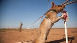 Entrenan ratas para detectar minas enterradas en África