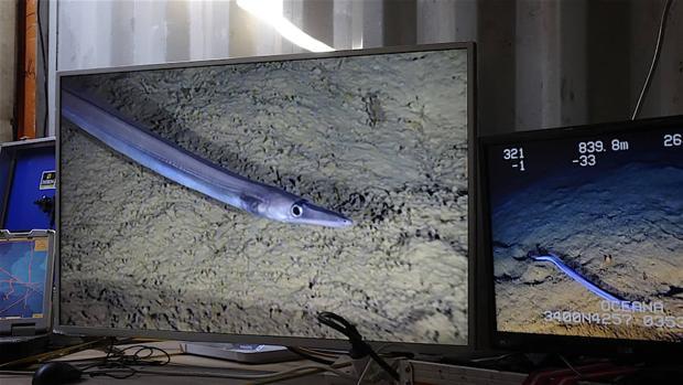 Una de las especies documentadas dentro del Deep-Sea Lebanon Project