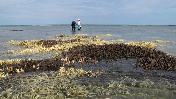 La Gran barrera de coral australiana comenzó a deteriorarse en la década de 1990