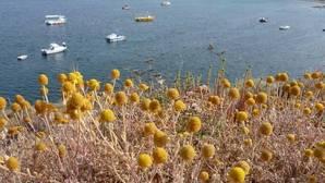 La manzanilla de Escombreras se adapta a las duras condiciones climáticas del ambiente semiárido típico del sureste español donde vive