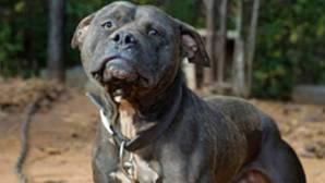 Los animalistas esperan que durante la primera mitad de 2017 el Senado mexicano apruebe una reforma del Código Penal para tipificar las peleas de perros como delito