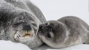 La prohibición de importar productos de foca no afecta a aquellos que son el resultado de la cacería tradicionalmente realizada por las comunidades autóctonas