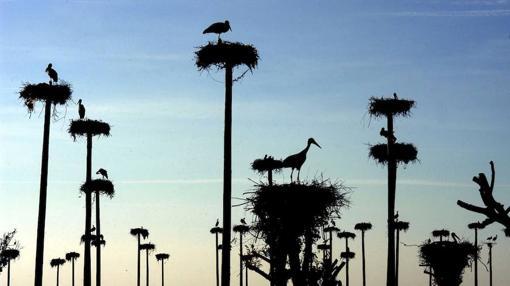 Los arrozales y basureros ayudan a las cigüeñas a soportar el invierno en tierras peninsulares: no tienen que marcharse hasta la lejana África subsahariana