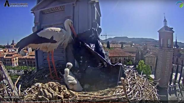 El viento se llevó la bolsa de plástico el mismo día que la pareja de cigüeñas lo subió a su nido en el tejado del Ayuntamiento de Alcalá de Henares (Madrid)