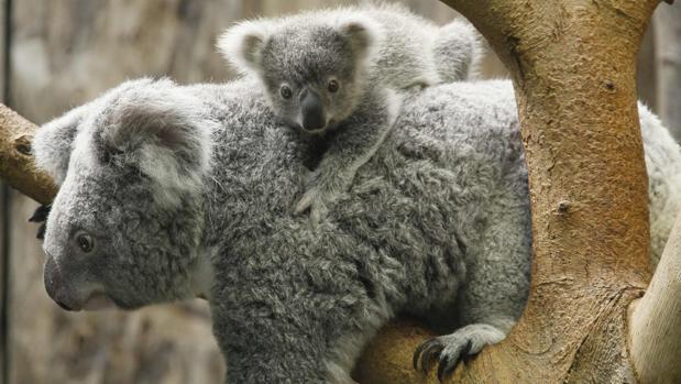 El koala corre el riesgo de desaparecer en ciertos parajes del este de Australia por la tala de árboles impulsada por la urbanización y el desarrollo agrícola y minero