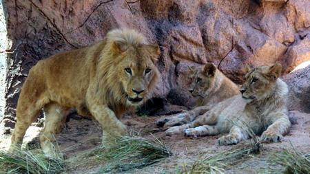 El nuevo león del Loro Parque