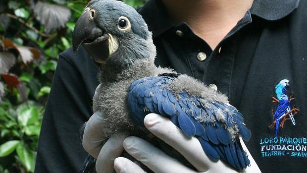 Guacamayo de Lear, primer nacimiento en Europa de esta especie de loro brasileño