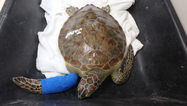En España se han observado seis de las siete especies de tortugas marinas existentes en el mundo