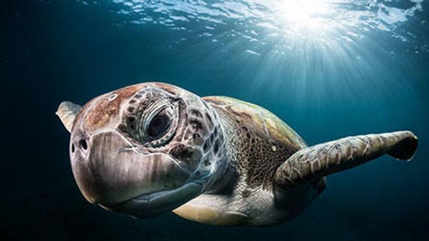 Un ejemplar de tortuga marina