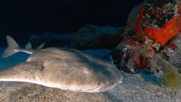 El archipiélago canario se ha convertido en un refugio para el angelote, escualo declarado en peligro crítico