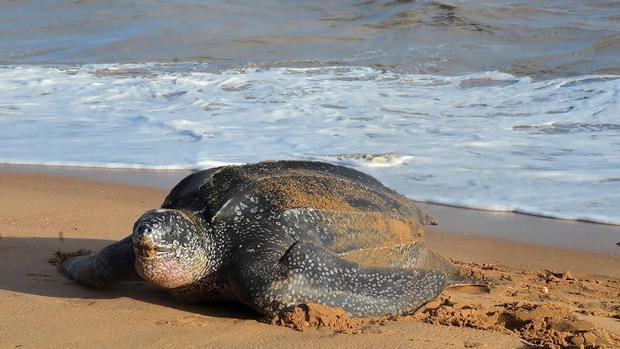 Las tortugas boba, laúd (en la imagen), verde, carey, lora, plana y olivácea (las dos últimas no vistas en España) se caracterizan por ser especies altamente migratorias