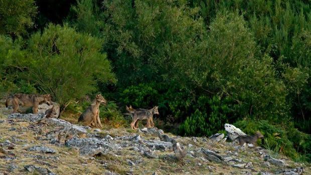 La prohibición temporal ha evitado la caza de 1.691 ejemplares de oso, lobo y gatos silvestres en Rumanía durante los últimos nueve meses