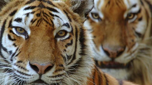 Dos tigres siberianos