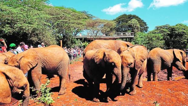Un grupo de pequeños elefantes juguetea para solaz de los visitantes del David Sheldrick Wildlife Trust (Nairobi)