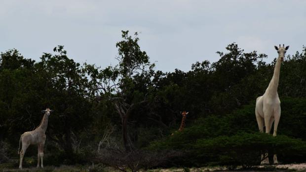 Dos jirafas blancas observadas en África
