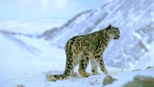 Pantera de las nieves