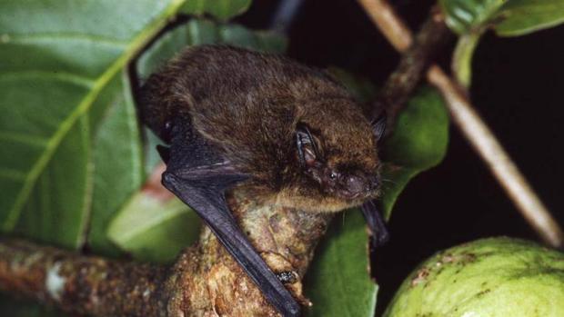 Murciélago de la Isla de Navidad
