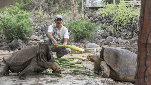 El análisis genético de 150 tortugas procedentes de la isla Isabela identificó 127 individuos con diferentes niveles de ascendencia de la tortuga de Floreana