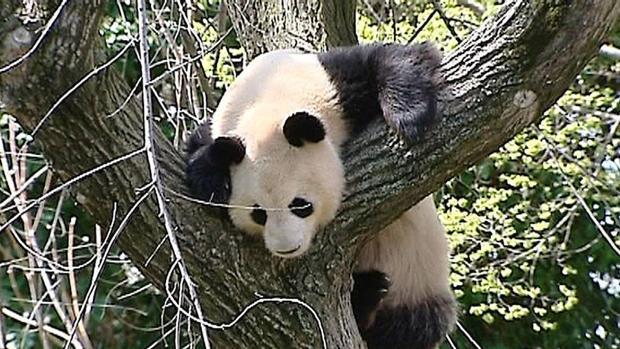En la actualidad el hábitat del oso panda está en peores condiciones que cuando la especie fue clasificada «En Peligro» por la UICN en 1988