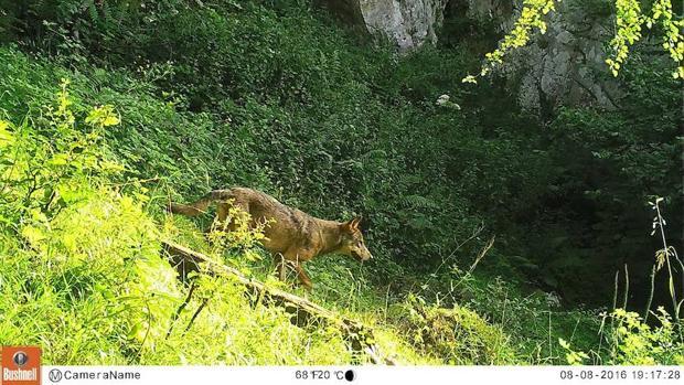 Más de veinte organizaciones han solicitado al Principado de Asturias la suspensión de cualquier batida contra el lobo