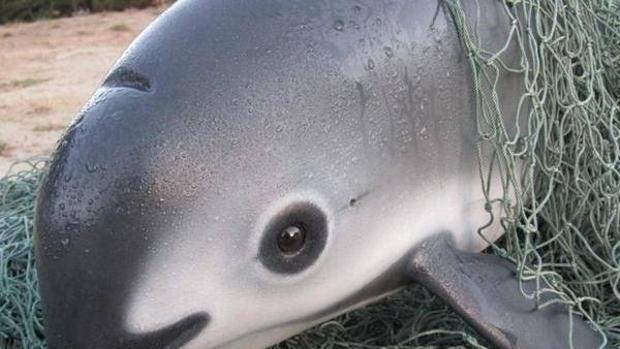 Ejemplar de vaquita marina