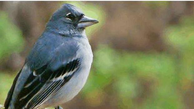 El pinzón azul de Gran Canaria llegó a tener menos de 200 ejemplares en 2008