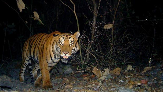 No se trata solo de proteger a la especie, sino también su hábitat del tigre