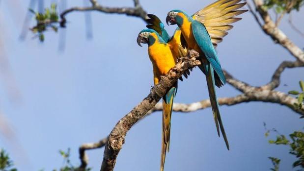 Así se han librado de la extinción tres especies de aves, como el guacamayo barbazul
