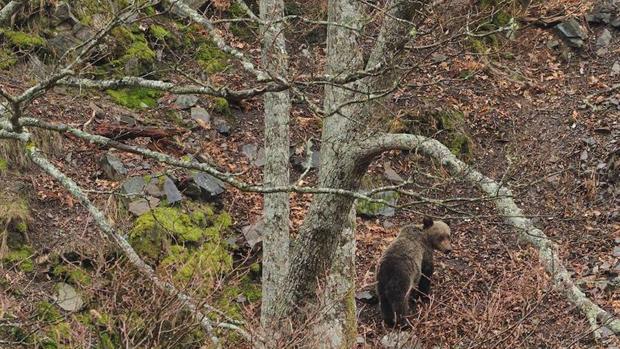 Un dispositivo de búsqueda trata de capturar a un oso herido en Cantabria