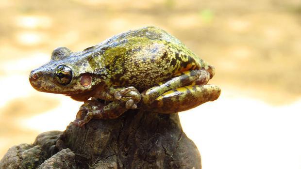 La rana Scinax ruber tiene en su piel antibióticos que la protegen de espacios contaminados