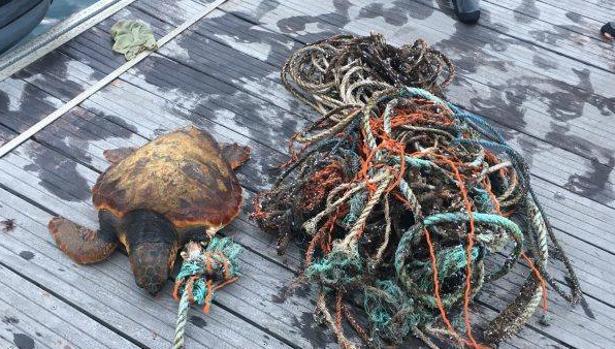 La agricultura provoca la mitad de los enmallamientos de tortugas en Canarias