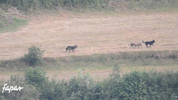 Filman las primeras imágenes de caza en grupo de perros salvajes en Asturias