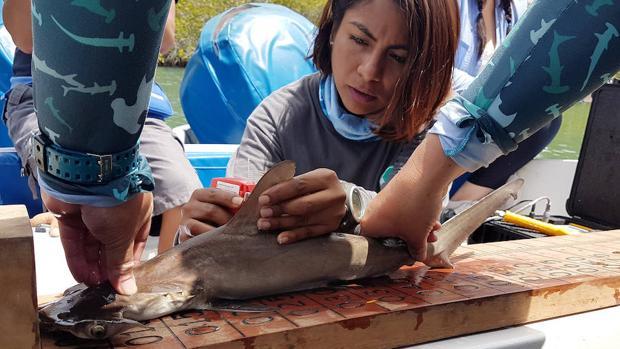 Descubren el primer sitio de crianza de tiburones martillo en las Islas Galápagos