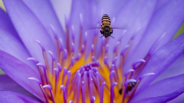 Una abeja de la miel recolecta polen en una flor de loto en Bangkok