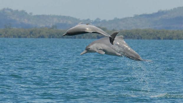 Elevan la categoría de amenaza del delfín jorobado del Atlántico a «En Peligro Crítico» de extinción