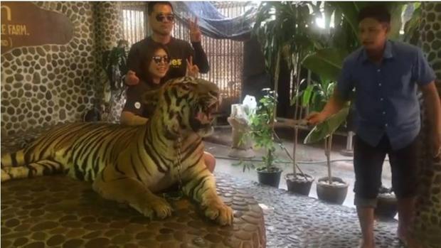 Acusan a un zoo de Tailandia de maltratar a un tigre para que luzca más fiero en los selfies