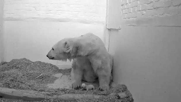 Muere una cría de oso polar de 26 días en el zoo de Berlín