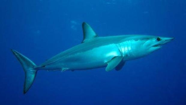 El declive de los tiburones puede cambiar la fisonomía de los peces