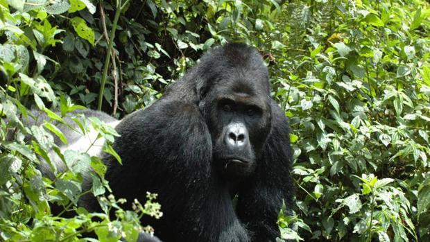 La población de gorila de montaña el Parque Nacional de los Volcanes (Ruanda) había disminuido en un 54% desde su creación en 1925
