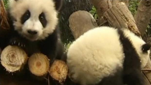 Acusan, de nuevo, de maltratar a pandas a la principal reserva de la especie en China