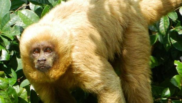 Capuchino rubio