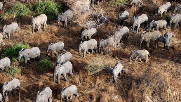Ya existe una nueva forma de detectar elefantes y discernir su comportamiento sin tenerlos a la vista