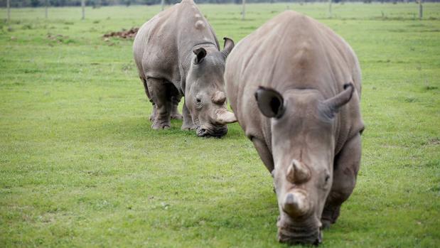 Zimbabue donará diez rinocerontes blancos a la República Democrática del Congo