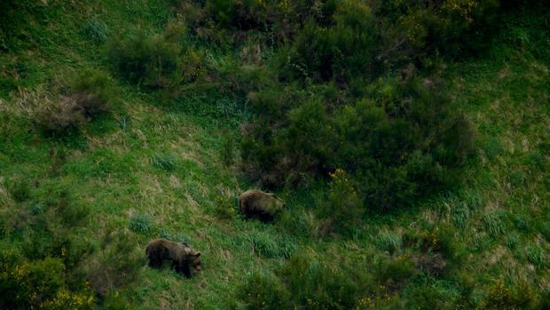 Tensión en los Pirineos por la liberación de dos osas procedentes de Eslovenia